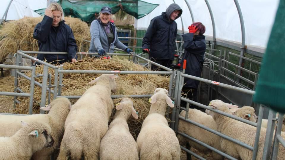 Lucky Ewe Volunteering - Cupar